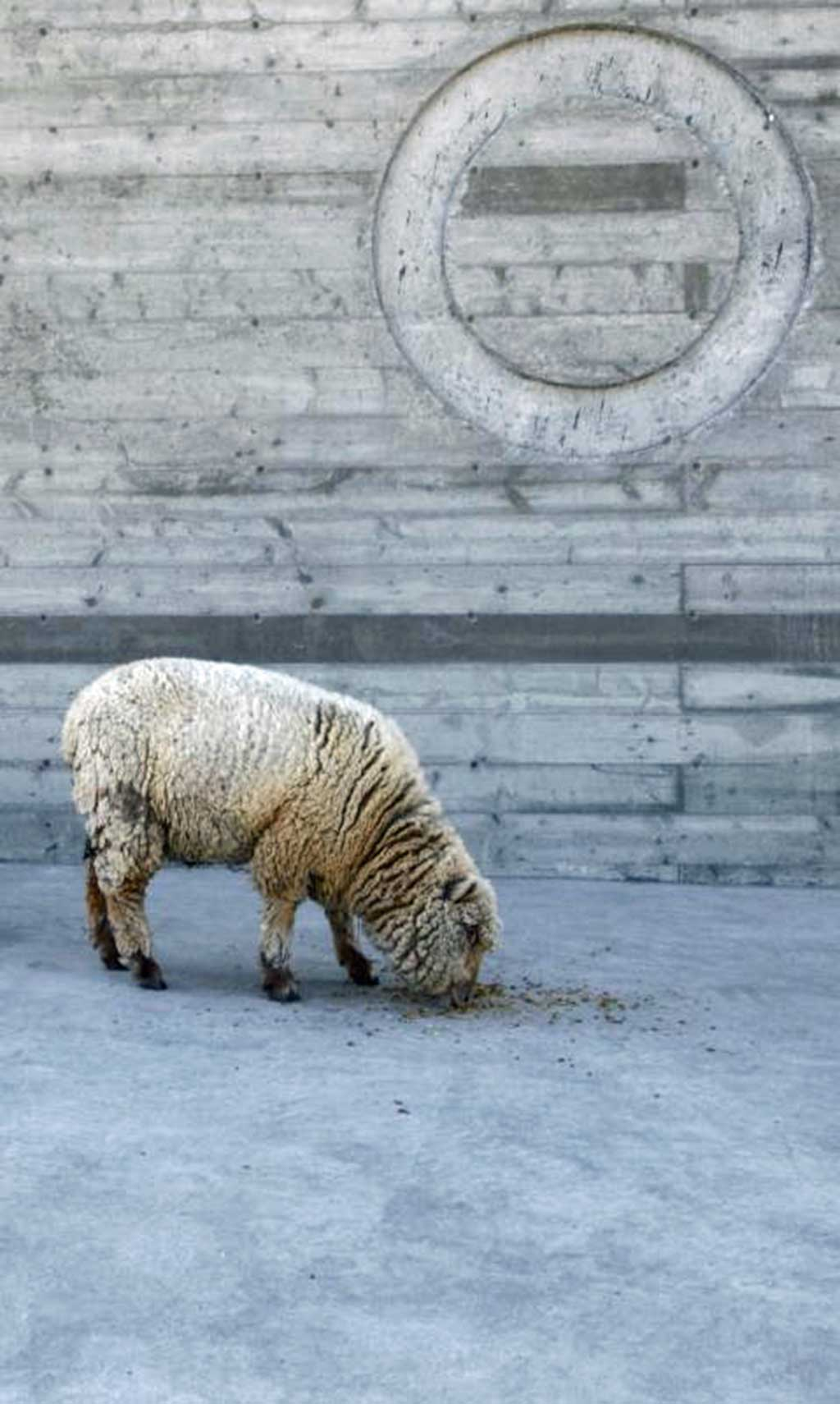 Sheep fertilize, mow and aerate soils at Switchback Vineyards