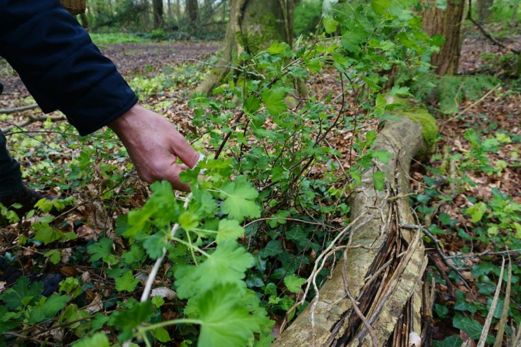 foraging for edible plants