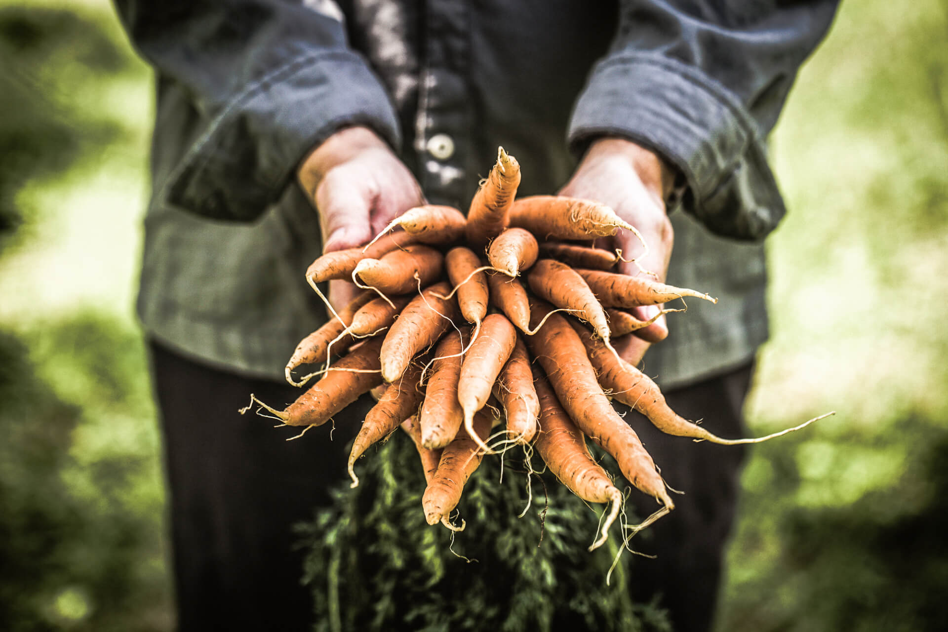 Hands holding a bunch of freshly picked carrots, the focus topic for the World Carrot Museum